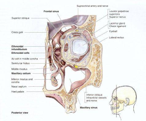 Klinische Anatomie der Orbita